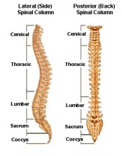 Spine Anatomy Diagram